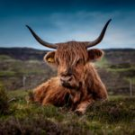 boeuf-typique-ecosse-travel-for-you
