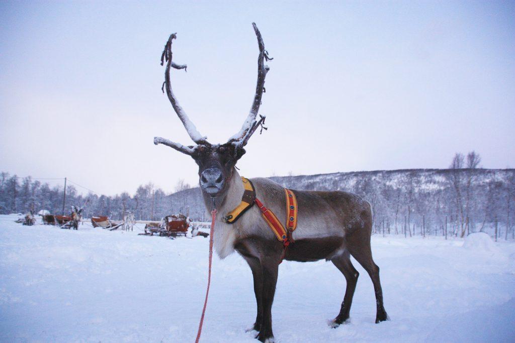 Renne dans un paysage enneigné en Finlande - Norvege Suede ou Finlande